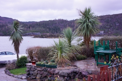 Plockton palms - some of the many palms trees to be seen in Plockton